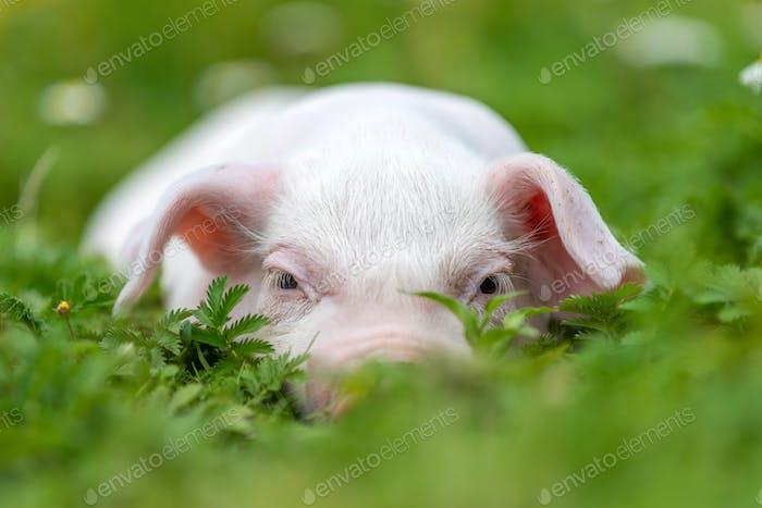 Joven cerdo divertido en un verde hierba