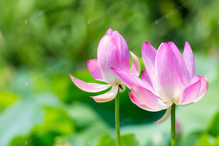 lotus flowers bloom