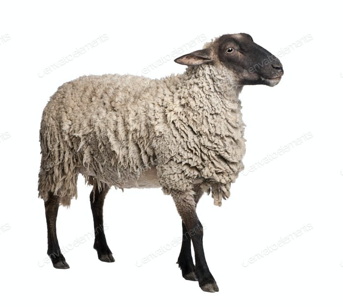 side view of a Suffolk sheep - (6 years old)