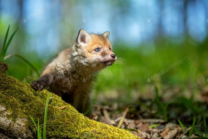 Red fox, vulpes vulpes, small young cub in forest