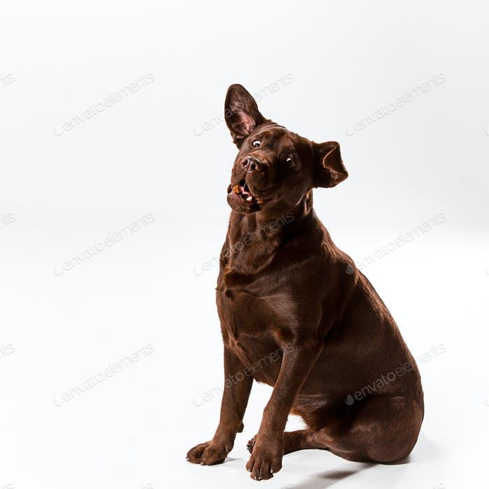 The brown labrador retriever on white