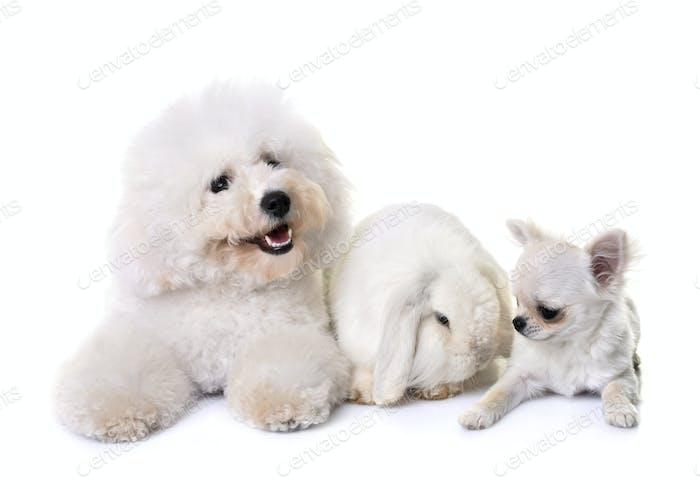 bichon frise, chihuahua and bunny