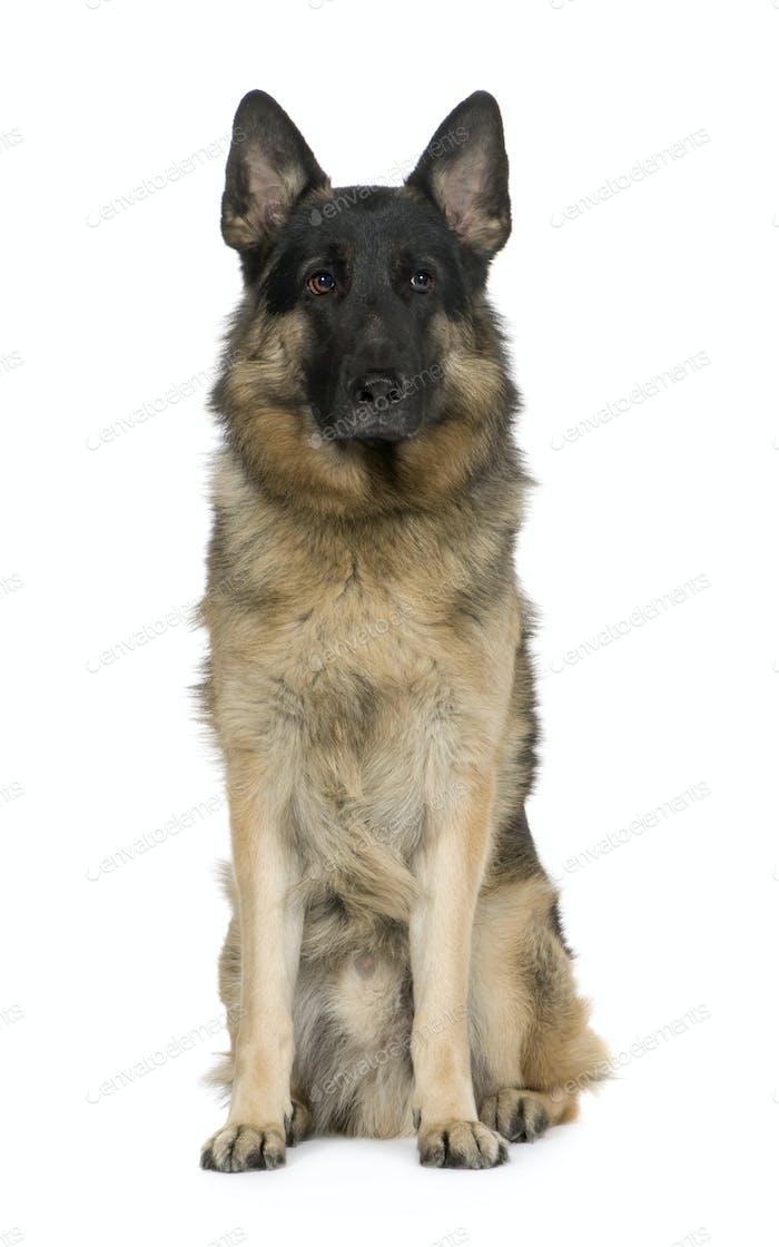 german shepherd (2 years) / alsatian, police dog