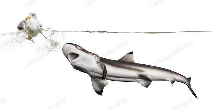 Blacktip Riff Hai Jagd auf eine europäische Hering Möwe