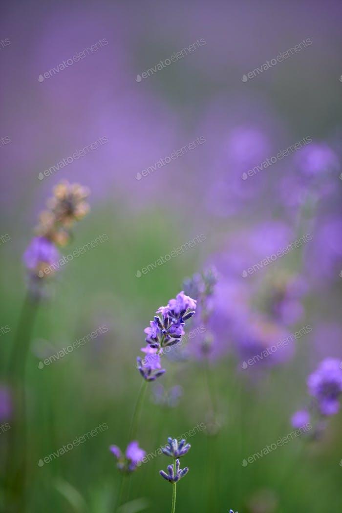 Lila Blüten in blühendem Lavendelfeld