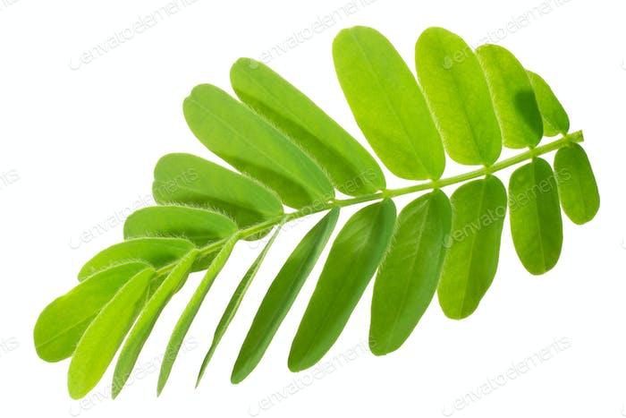 Tamarind t. indica leaves, paths