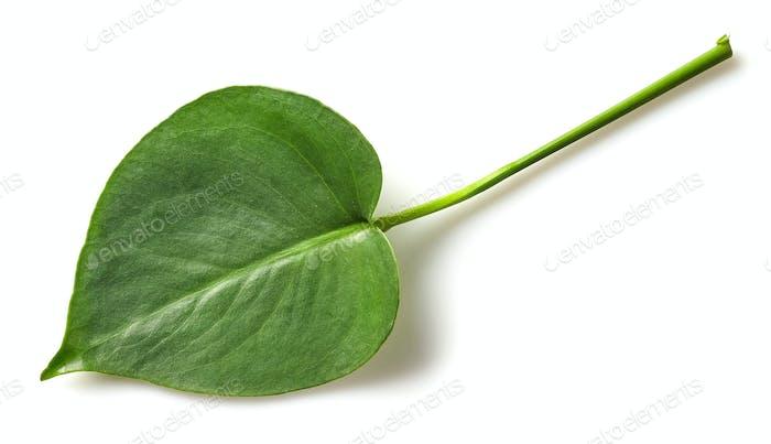 Blatt der Monstera Pflanze
