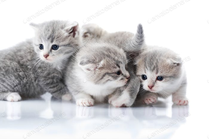 Little grey kittens with blue eyes being curious and exploring surrounding world