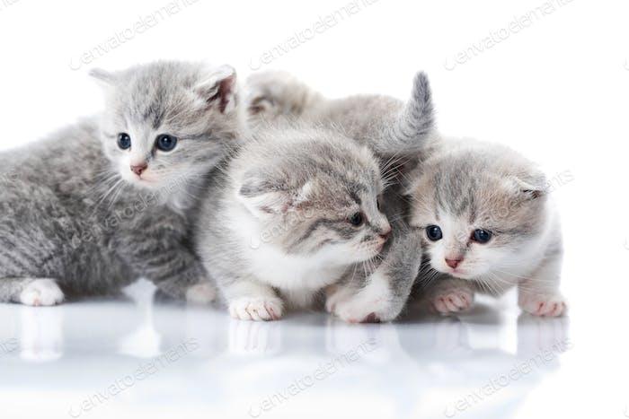 Kleine graue Kätzchen mit blauen Augen sind neugierig und erkunden die umliegende Welt