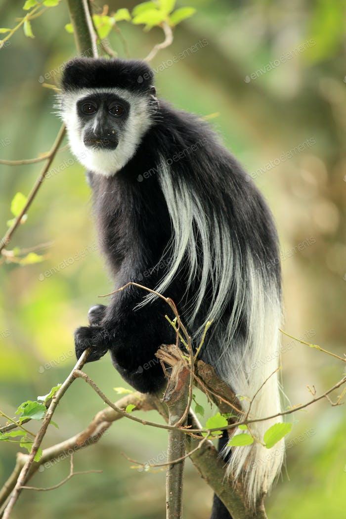 Black and White Colobus - Uganda, Africa