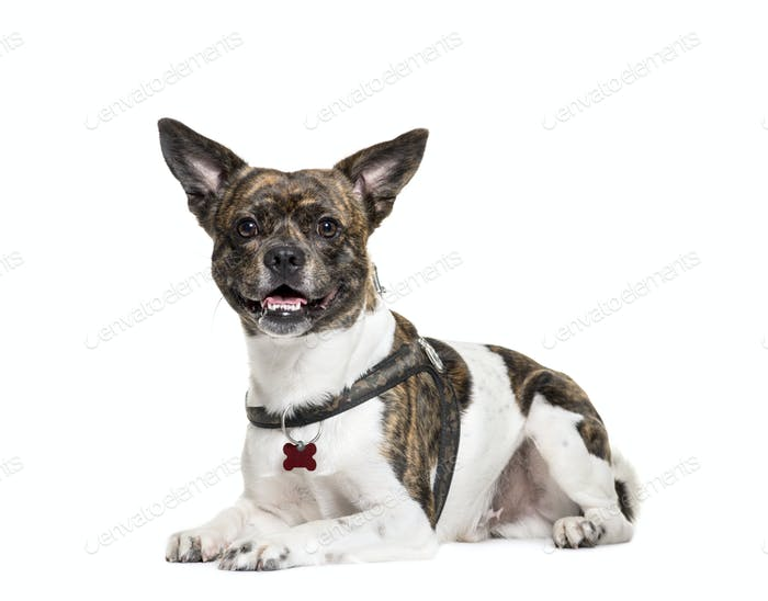 Sitting and panting Mixed-breed dog, isolated on white