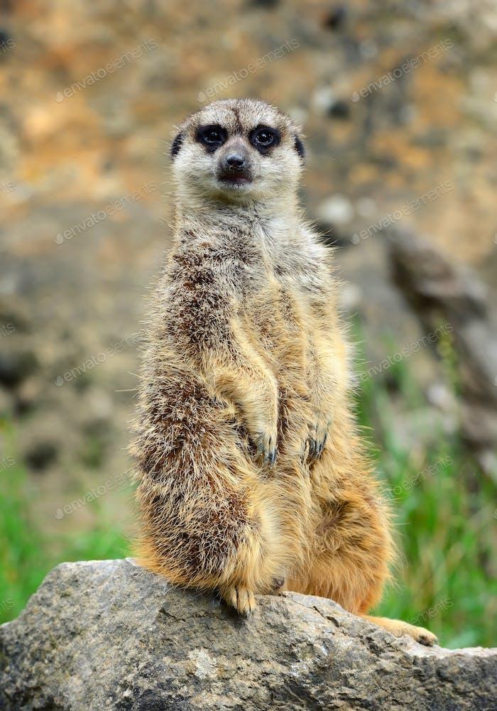 Член семьи Meerkat (Suricata suricatta) на карауле