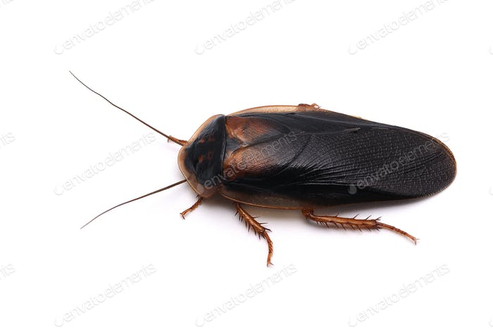 Giant cockroach isolated on white background