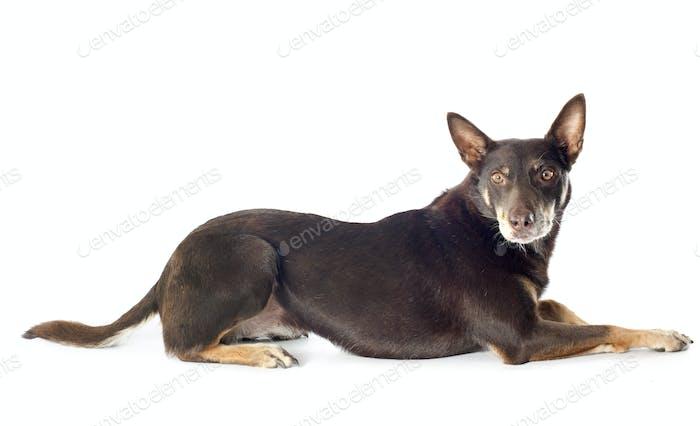 Australische Rinderhund