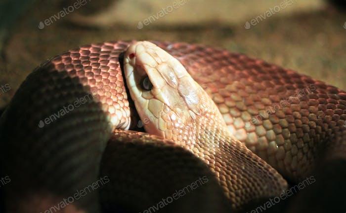 Inland Taipan Snake Up Close in Australia