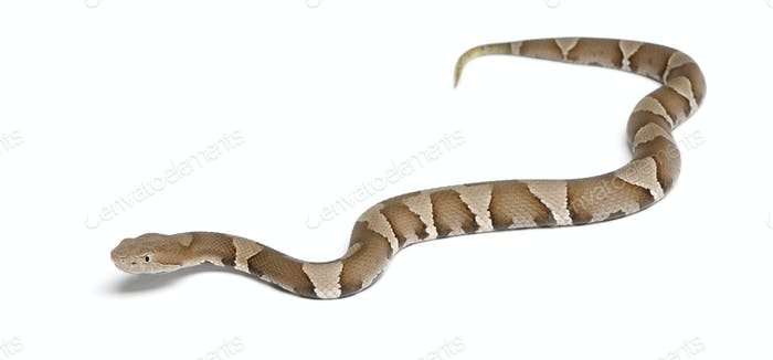 Young Copperhead snake or highland moccasin - Agkistrodon contortrix(poisonous)