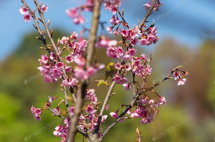 The yellow bird (oriental white-eye) on the pink sakura
