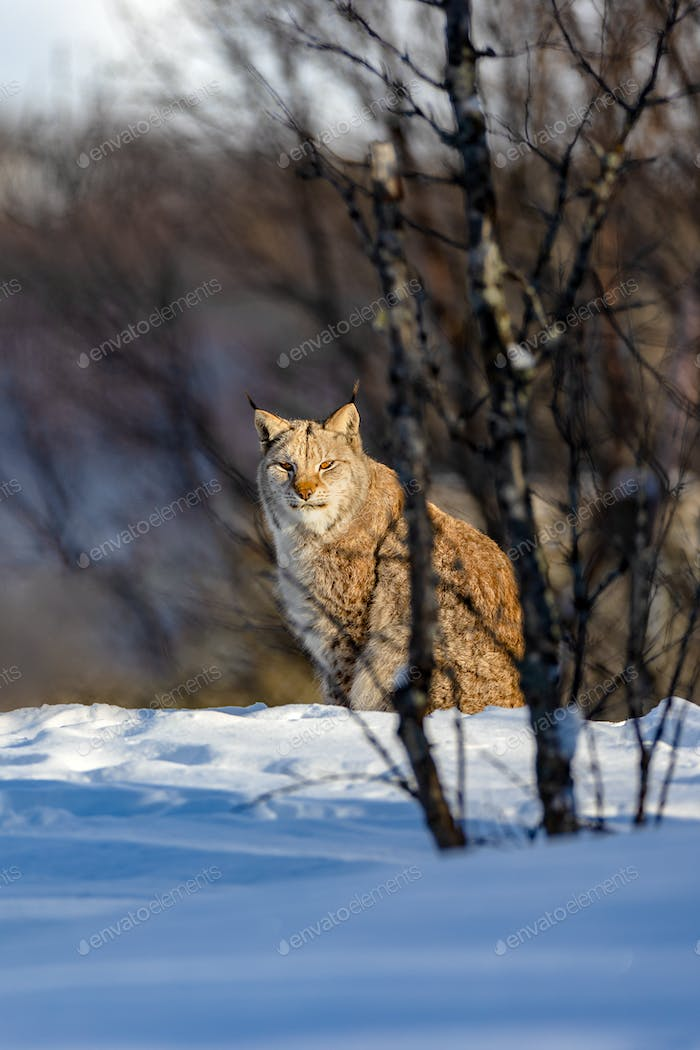 Alert lynx sitting on snow by bare trees in nature