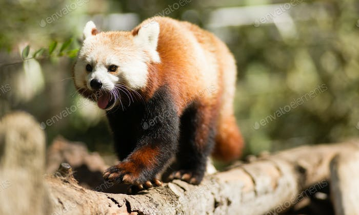 Red Panda Wild Animal Walking Down Tree Limb