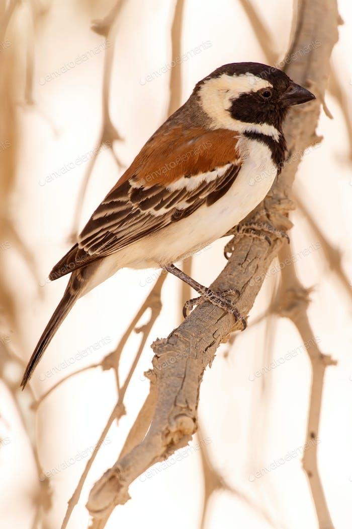 Männlicher Geselliger Weber Vogel, Namibia