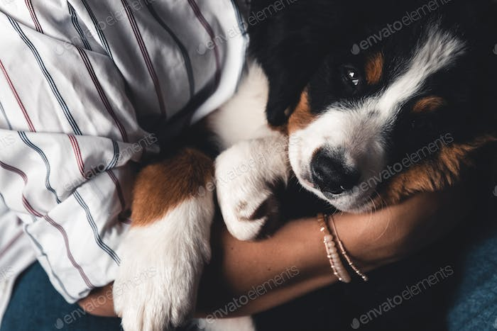 little puppy of bernese mountain dog on hands of fashionable girl with a nice manicure. animals