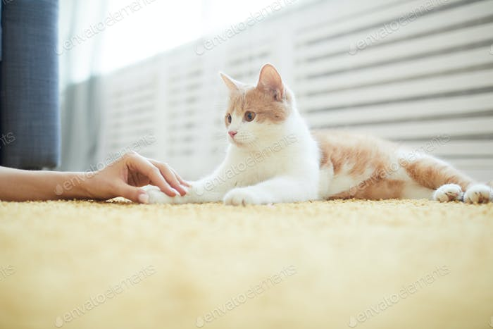 Cat lying on the floor with owner