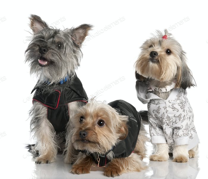 group of three Yorkshire Terrier (2 years old and 8 months)