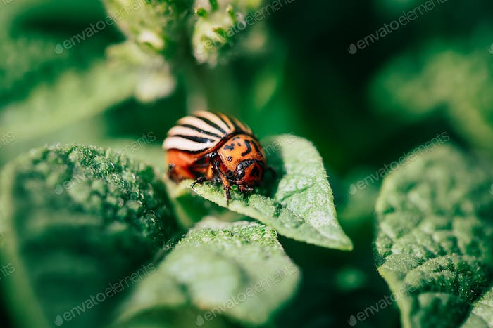Close Up Of Potato Striped Beetle - Leptinotarsa Decemlineata Is