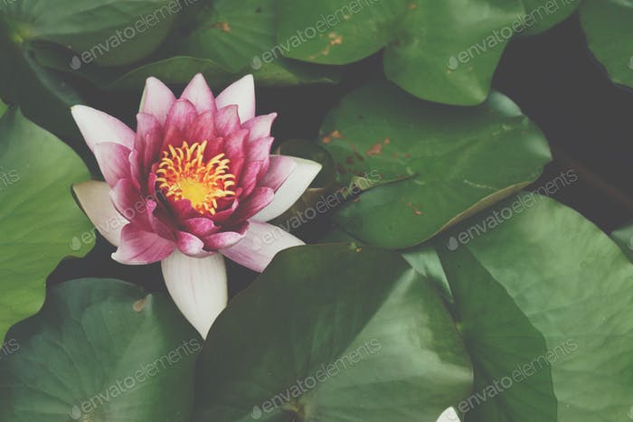Beautiful waterlily or lotus flower, soft morning ligth.