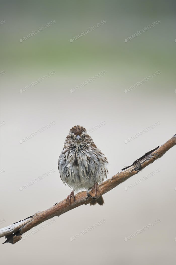 Song Sparrow Interesting Pose
