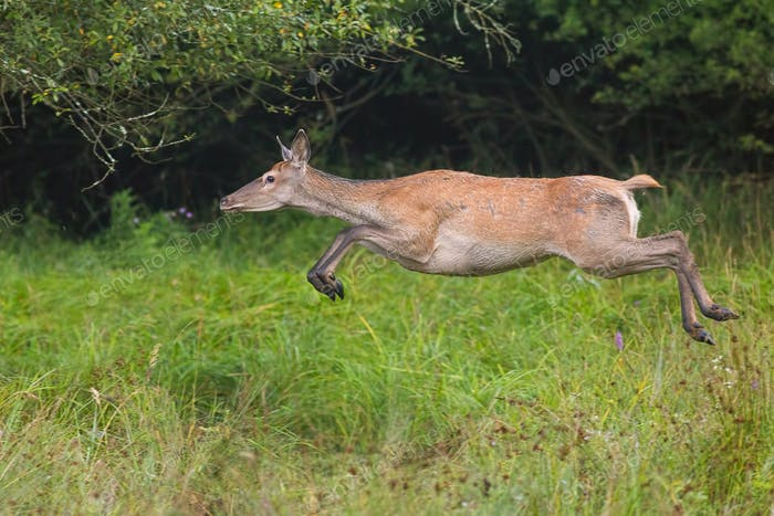 Red deer, cervus elaphus, runnig dynamically at high speed