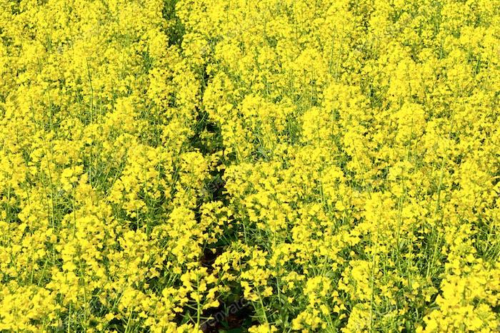 Ein gelbes Feld von Colza