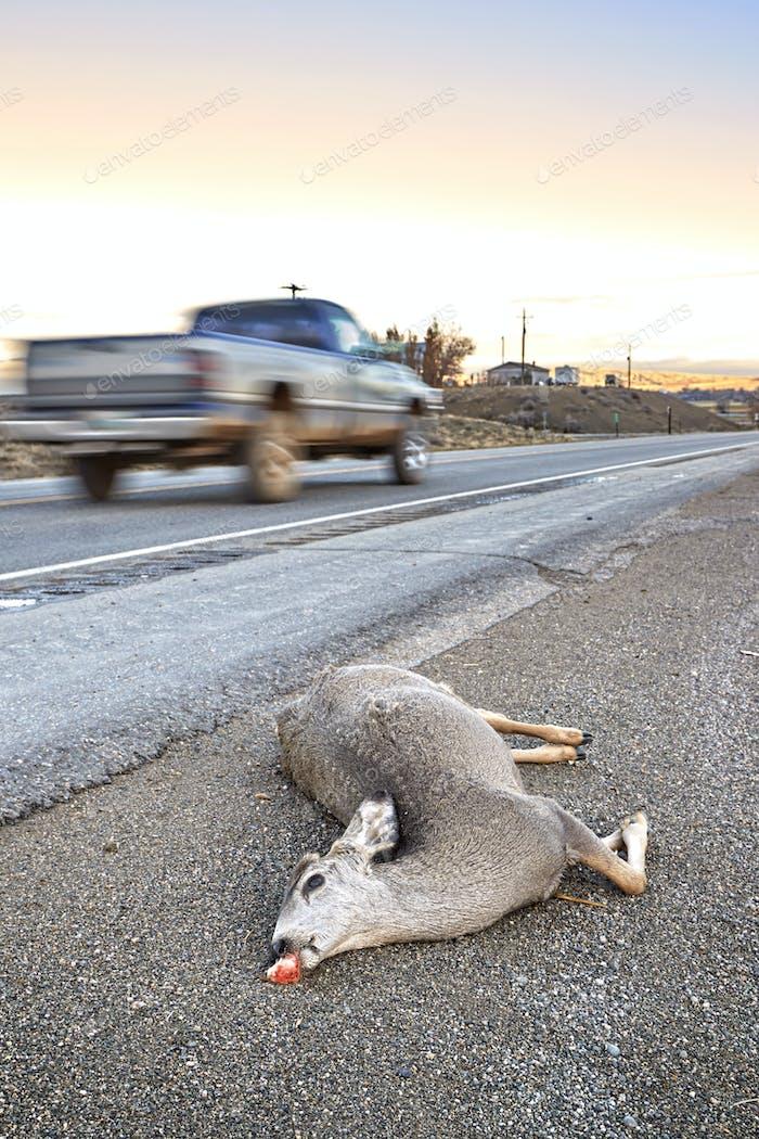 Totes Hirsch von einem Auto angefahren, das bei Sonnenuntergang an der Straße liegt.