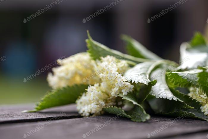 Elder flower with green leaves