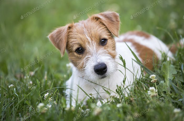 Jack Russell terrier pet dog happy puppy looking