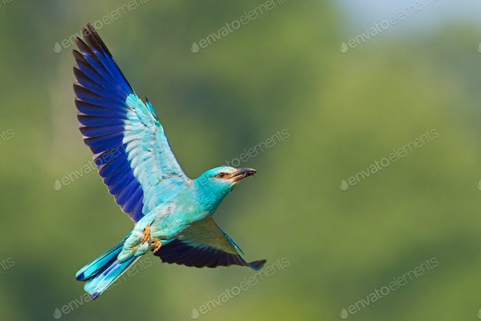 European roller flying in the sky with green background and space for text