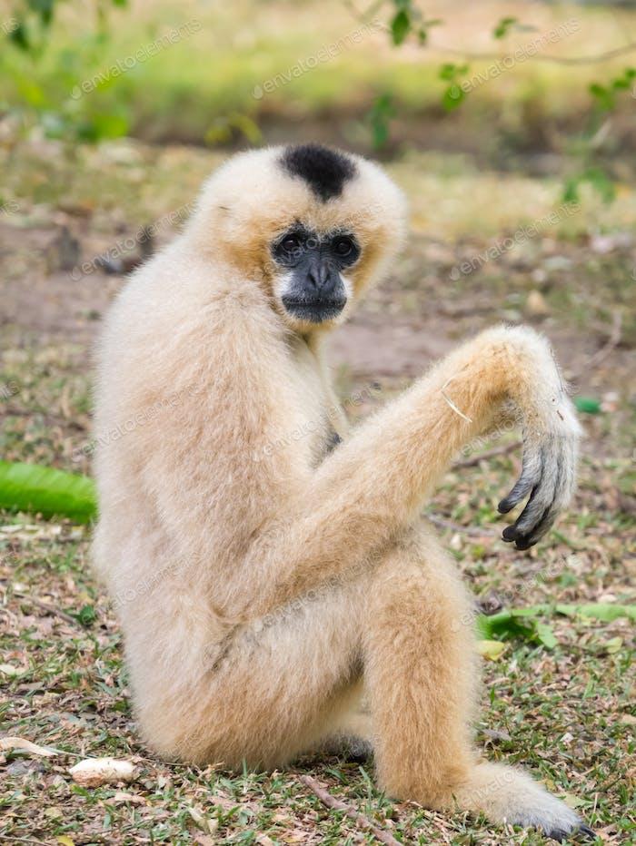 Gibbon pose