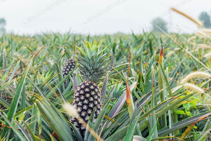 Planting pineapple with sky