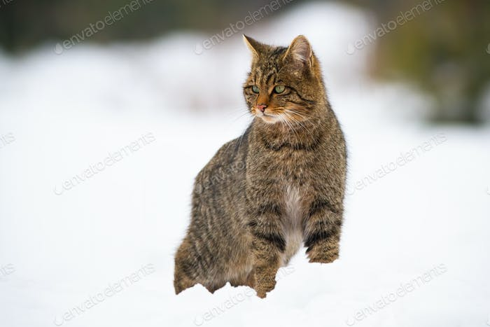 Dominant european wildcat, felis silvestris on snow in winter