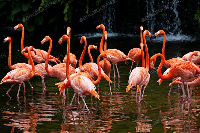 American Flamingo (Phoenicopterus ruber), Orange flamingo