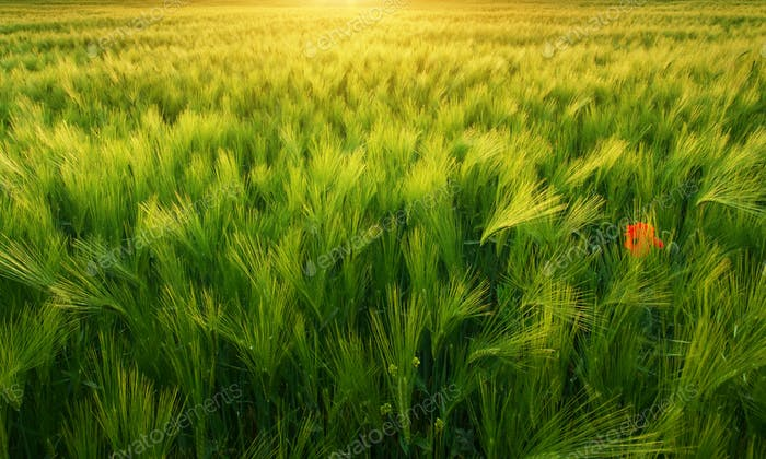 Meadow of wheat texture