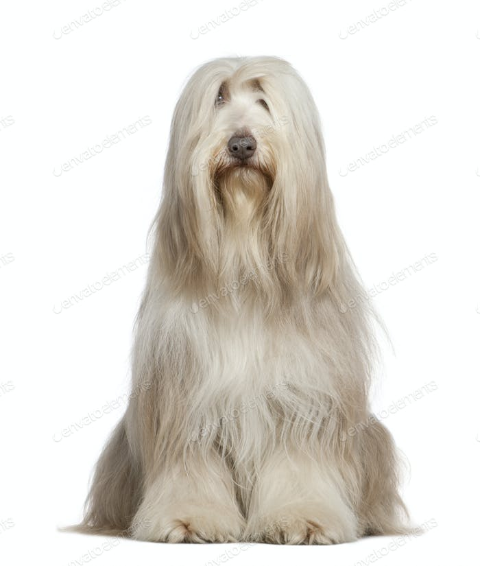 Bearded Collie, 6 years old, sitting in front of white background
