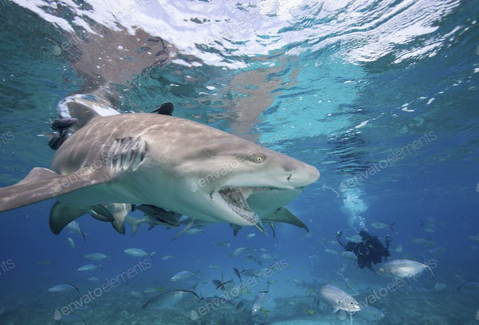 Lemon sharks compete for food during a staged shark feeding dive in the Bahamas.