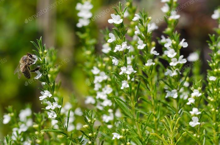 Honeybee on flowering thyme macro photo