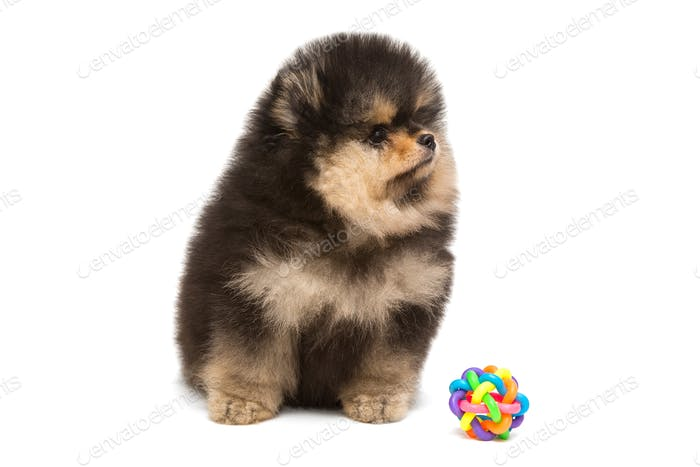 Black Pomeranian puppy and ball