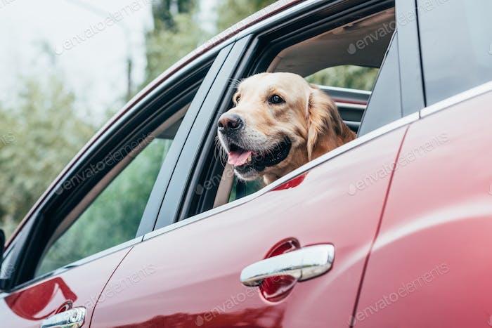 schöner goldener Retriever Hund Blick aus dem Autofenster