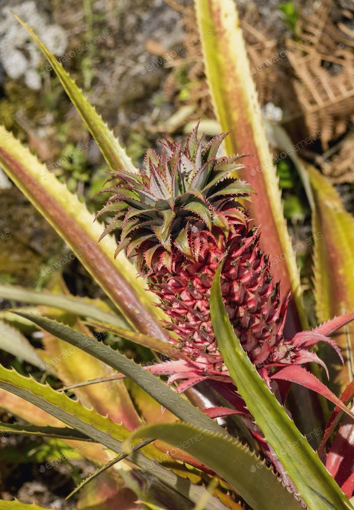 Pineapple on Pico Island