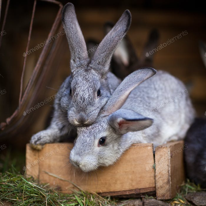 Junge Kaninchen knallen aus einem Stall (Europäisches Kaninchen - Oryctola