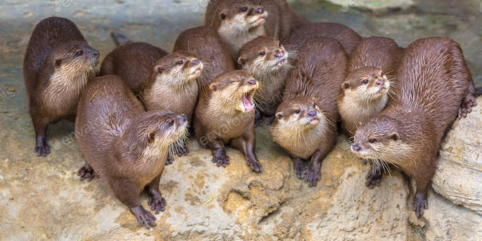 Entertaining Group of small otters