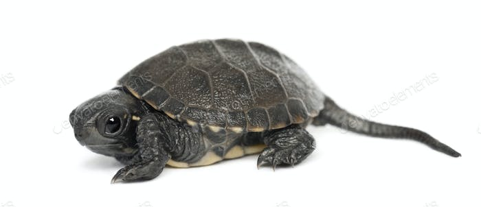 European pond turtle, also called the European pond terrapin, Emys orbicularis, 6 months old